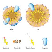 Stock Illustration of Lipoproteins of the blood, LDL, HDL