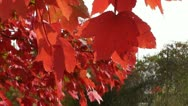 Red Leaves Stock Footage