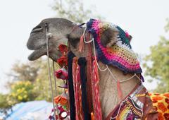 Stock Photo of adorned camel portrait