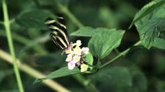 Black and White Butterfly - Takeoff HD Stock Footage