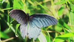 Black Butterfly Take Off - Slow Motion, 50fps HD Stock Footage