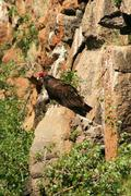 Turkey vulture on a rock Stock Photos