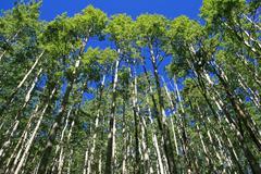 spring aspen grove - stock photo