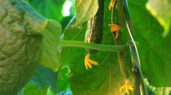 Hothouse cucumbers Stock Footage