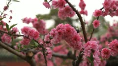Tiantan Park, Japanese Cherry Tree Blossom, Temple of Heaven in Beijing, China Stock Footage