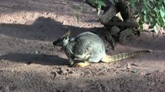 wallaby sniffing 20 - stock footage