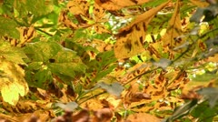 Horse chestnut tree leaves with Leaf Miner damage Stock Footage