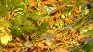 Stock Video Footage of Horse chestnut tree leaves with Leaf Miner damage