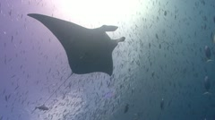 Manta Ray swims through school of fish - stock footage