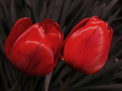 two tulips on desaturated background. - stock photo