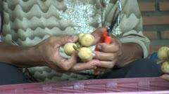 Asian Farmer Culling Lamyai Fruit Stock Footage