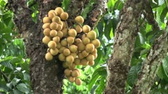 Ripe Lam Yai In A Thailand Orchard Stock Footage