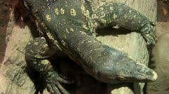 1440 Iguana Stock Footage
