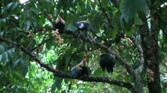 Roosters On Lamyai Tree Branches Stock Footage