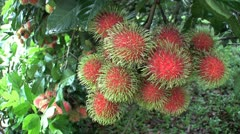 Ripe Rambutan Fruit In Thai Orchard Stock Footage