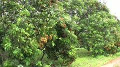 Rambutan Fruit In Thai Orchard-tilt Stock Footage