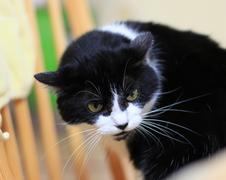 Tuxedo cat - stock photo