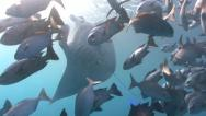 Manta Rays appear from behind feeding fish Stock Footage