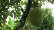 Stock Video Footage of Ripe Jackfruit In Thailand-tilt down