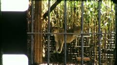 LION TAMER Tiger Wild Animal Endangered (Vintage Film Retro Home Movie) 5430 Stock Footage