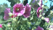Stock Video Footage of Malva in the garden