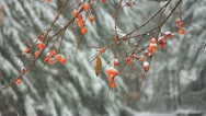 Snowing on pines and berries at a pond (HD)c Stock Footage