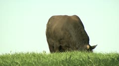 Angus bull grazing Stock Footage