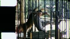 LION TAMER Tiger Wild Animal Endangered (Vintage Film Retro Home Movie) 5435 Stock Footage