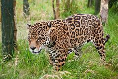 stunning jaguar panthera onca prowling through long grass - stock photo