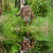 Stunning jaguar panthera onca prowling through long grass reflected in calm w Stock Illustration