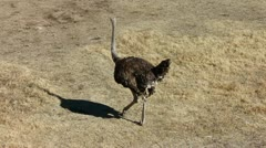 Ostrich Walks Away - stock footage