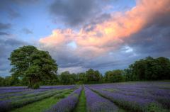 Stunning atmospheric sunset over vibrant lavender fields in summer Stock Photos