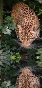 beautiful leopard panthera pardus big cat amongst foliage reflected in calm w - stock illustration