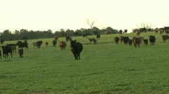 Cattle grazing and horse rancher Stock Footage