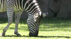 1080p Zebra Grazing 4 Stock Footage