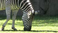 Stock Video Footage of 1080p Zebra Grazing 4