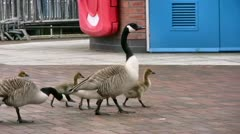 Canada geese family walking on a block paved waterfront area Stock Footage