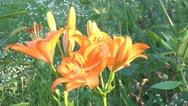 Orange lily Stock Footage