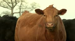 Cattle feeding - stock footage