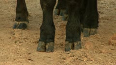 cattle hooves - stock footage