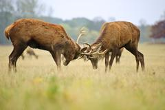 red deer stags jousting with antlers in autumn fall forest meadow - stock photo
