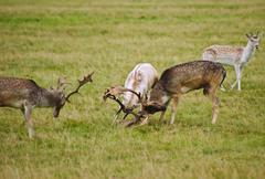 fallow deer stags antler jousting in autumn fall - stock photo