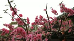 Japanese Cherry Tree Blossom, Tiantan Park, Temple of Heaven in Beijing, China Stock Footage