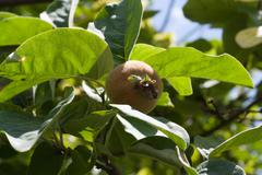 quince on a tree - stock photo