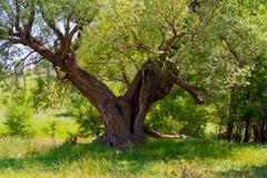 a beautiful old tree - stock photo