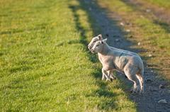 Pair of spring lambs face surnsie in rural landscape Stock Photos