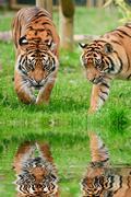 Portrait of sumatran tigers panthera tigris sumatrae big cat reflected in cal Stock Photos