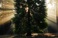 inspirational dawn sun burst through trees in forest autumn fall - stock photo