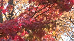 Scarlet maple tree in Japan Stock Footage