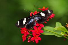 Stock Photo of Doris longwing butterfly (heliconius doris)